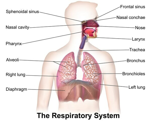 Dog respiratory system diagram neck online schematic diagram how does the respiratory system maintain homeostasis biology rh biologydictionary net upper respiratory system of a dog anatomy respiratory system diagram ccuart