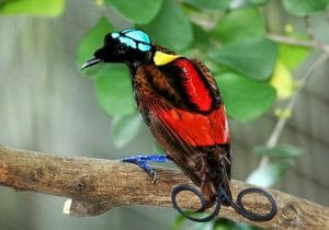 Wilson's Bird of Paradise Best