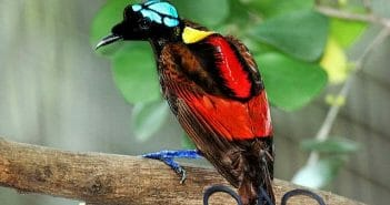 Wilson's Bird of Paradise Best