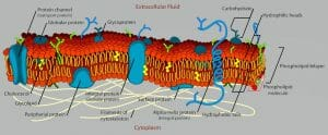 Cell membrane detailed diagram