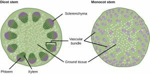 Dicot vs Monocot Stem