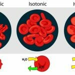 What Happens to a Cell in an Isotonic Solution
