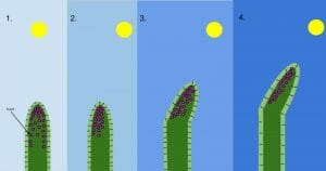 Phototropism Diagram