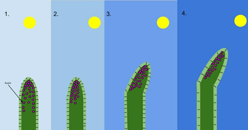 Auxin  Plant   Definition  Function And Structure