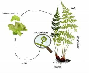 Pteridophyte lifecycle