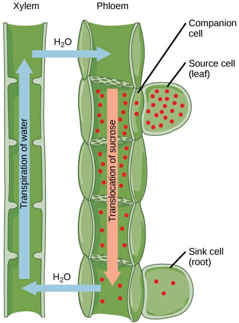 Vascular Tissue (Plant): Definition, Function, Types ...