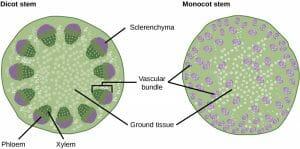 Dicot stem vs Monocot stem