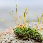 Nonvascular Plant