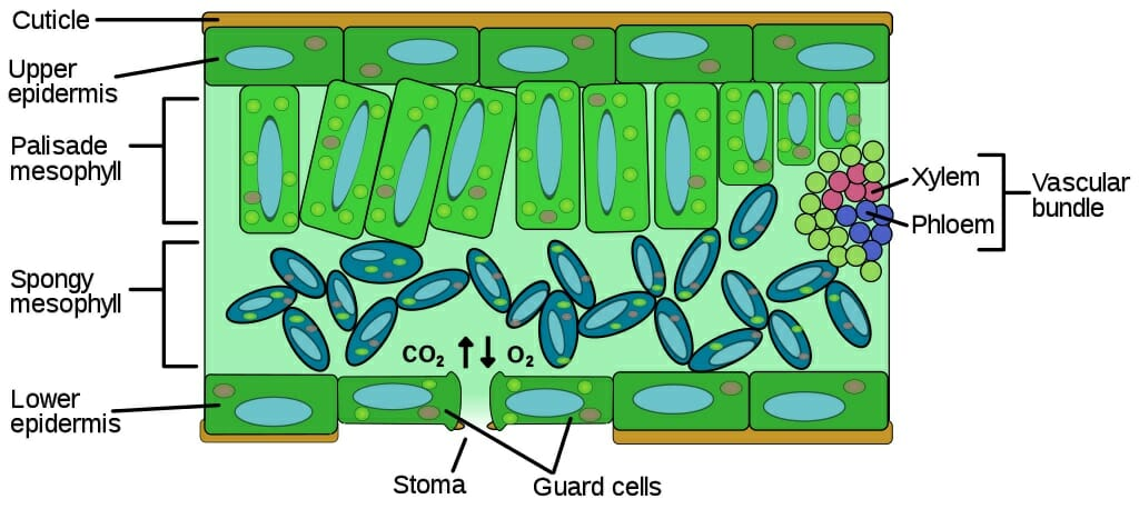 Leaf Cell Anatomy Wiring Diagrams