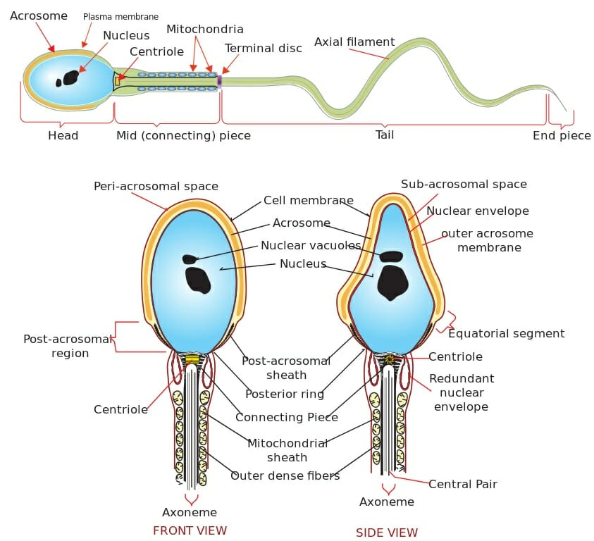 Human spermatozoa diagram