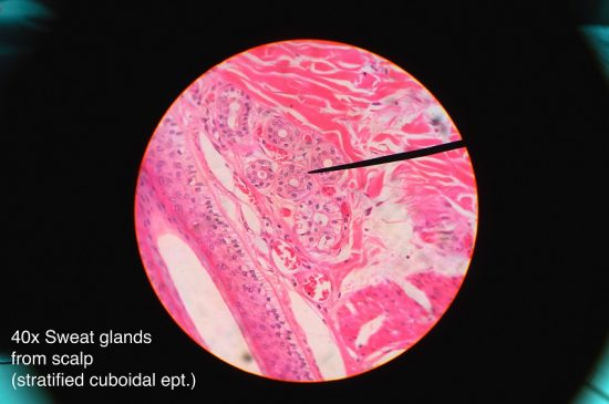 Sweat gland histology