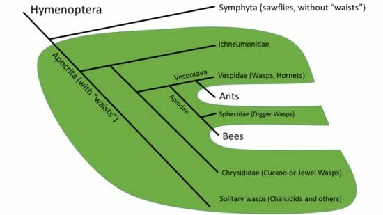 Wasps are Paraphyletic
