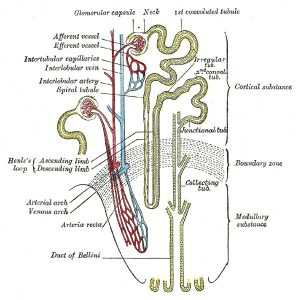 Animals Nephron system for Excretion