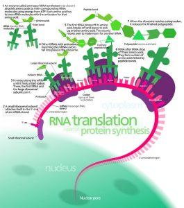 Diagram of RNA translation