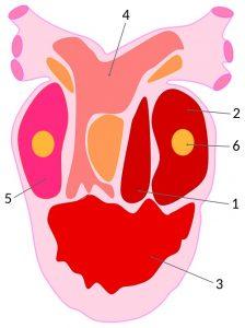 Diagram of an amphibian heart