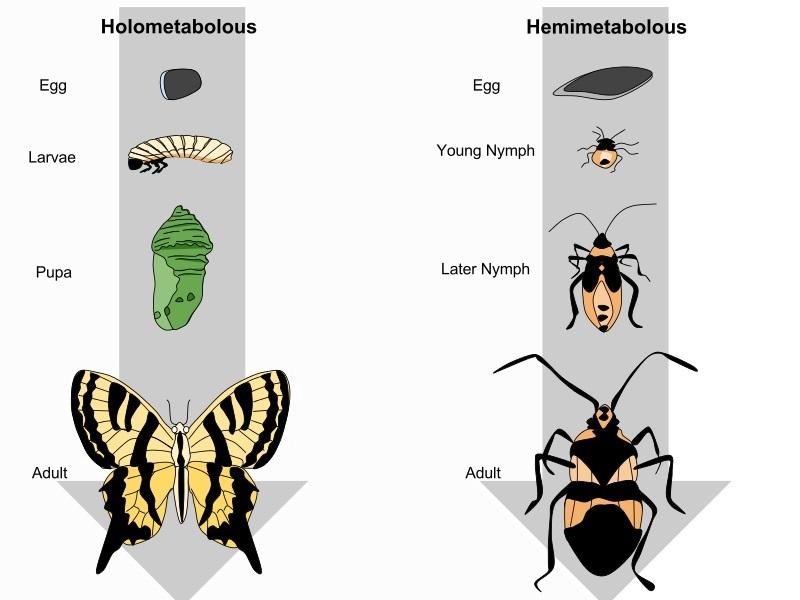 Holometabolous vs. Hemimetabolous