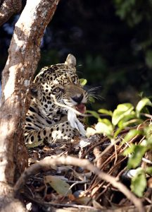 Jaguar with prey