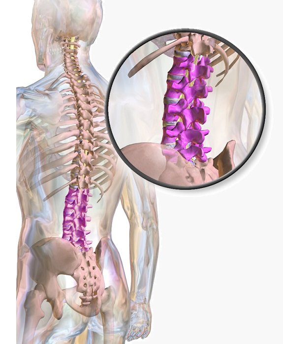 Lumbar Vertebrae - Definition, Function & Structure | Biology Dictionary