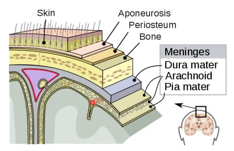 Meninges of the central nervous parts