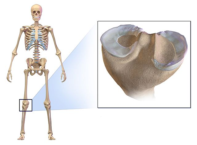 Cartilage Definition Function And Types Biology Dictionary
