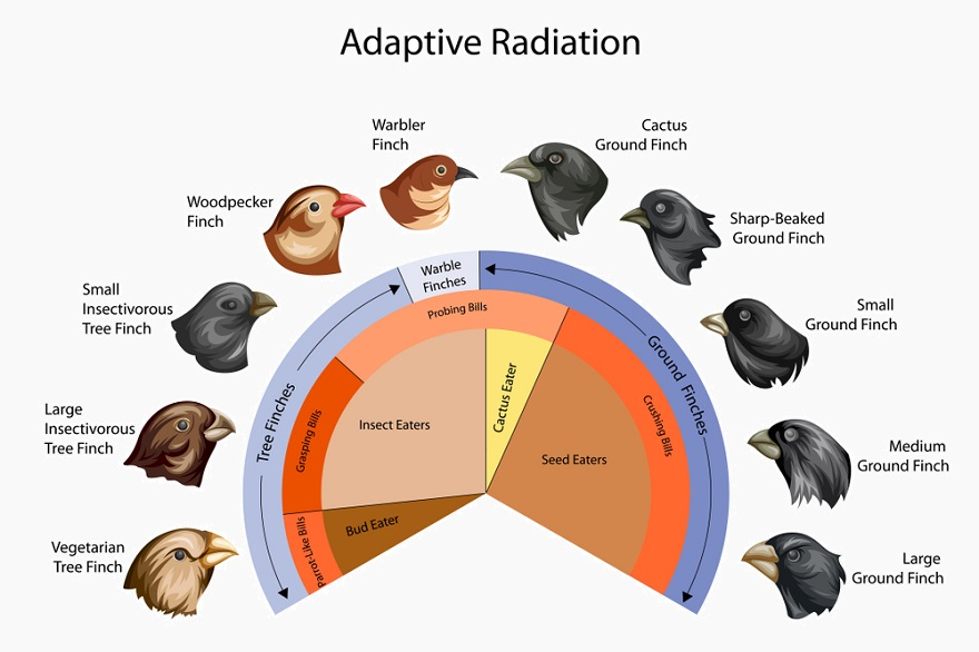 Image result for divergent evolution examples finches
