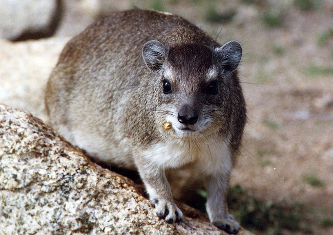 Bush hyrax - the elephant's closest relative