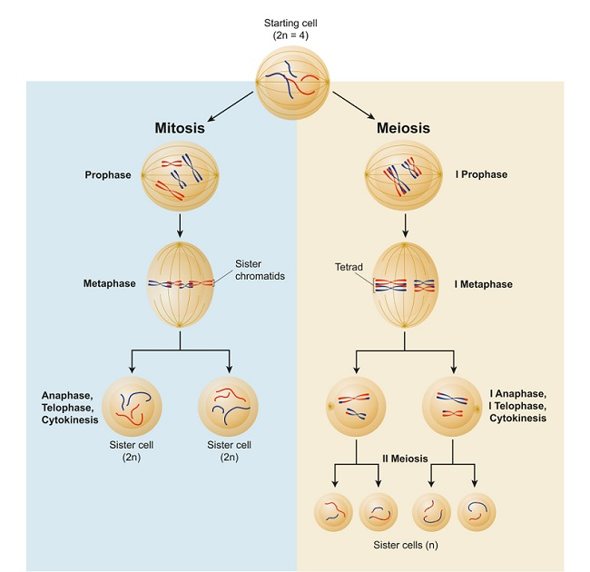 Different processes of cell division