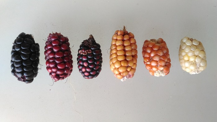 Genetic diversity of corn kernel colors