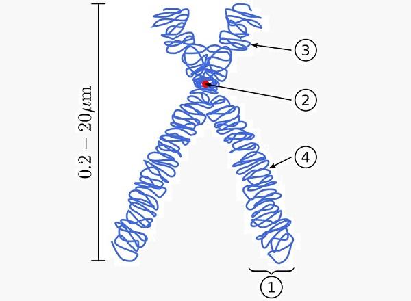 Parts of a chromosome
