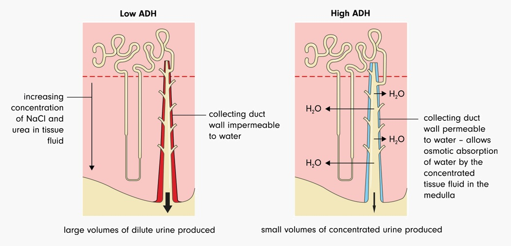 ADH and water balance