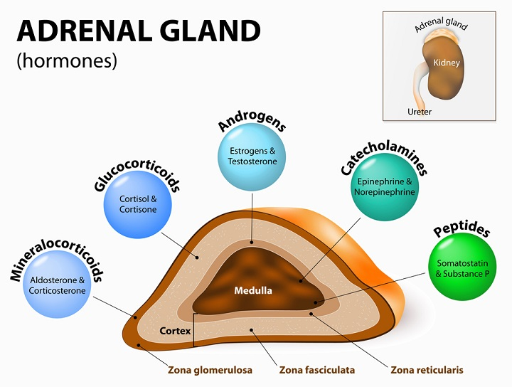 Adrenal gland – hormone production