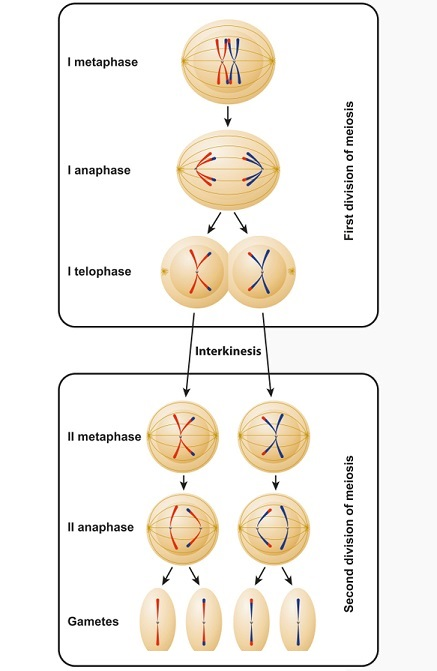 Meiosis I and II