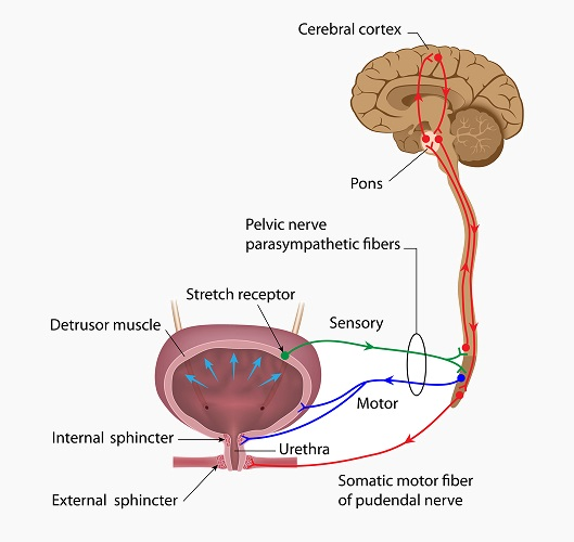Urinary System - Definition, Function and Organs | Biology