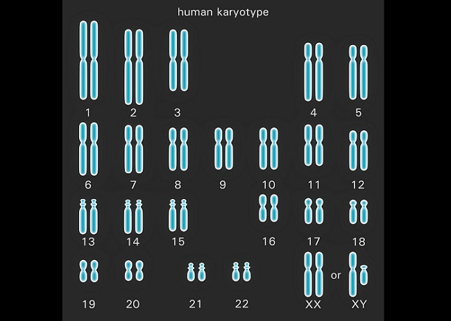 The human karyotype