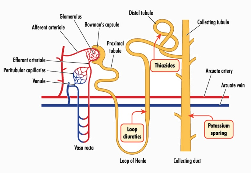 Where diuretics work