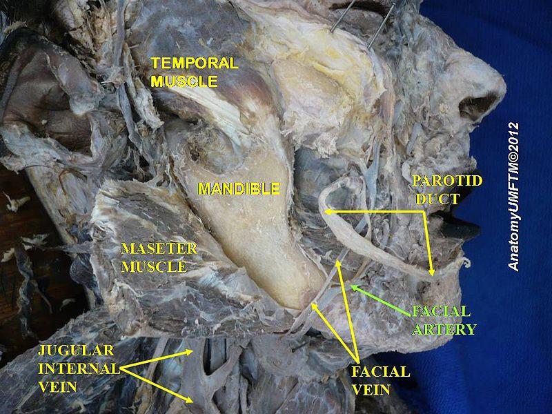 Submandibular Gland - The Definitive Guide | Biology ...