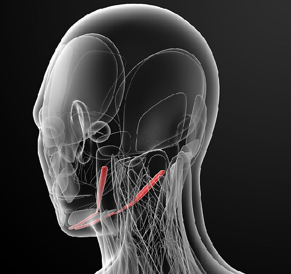 Digastric muscle position