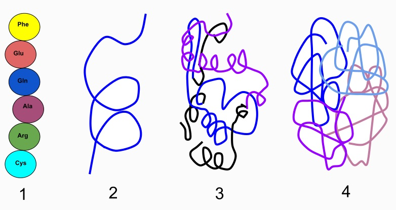 The 4 protein structures