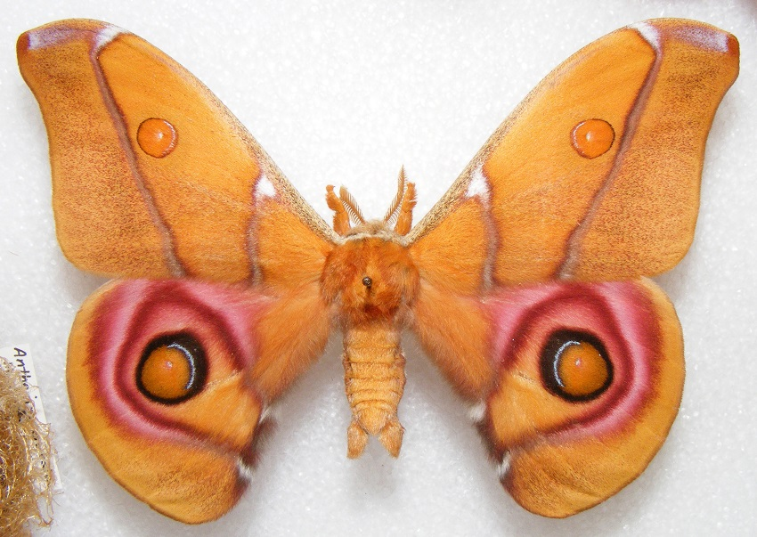 """This moth uses """"stealth-scales"""" to avoid detection by bats."""