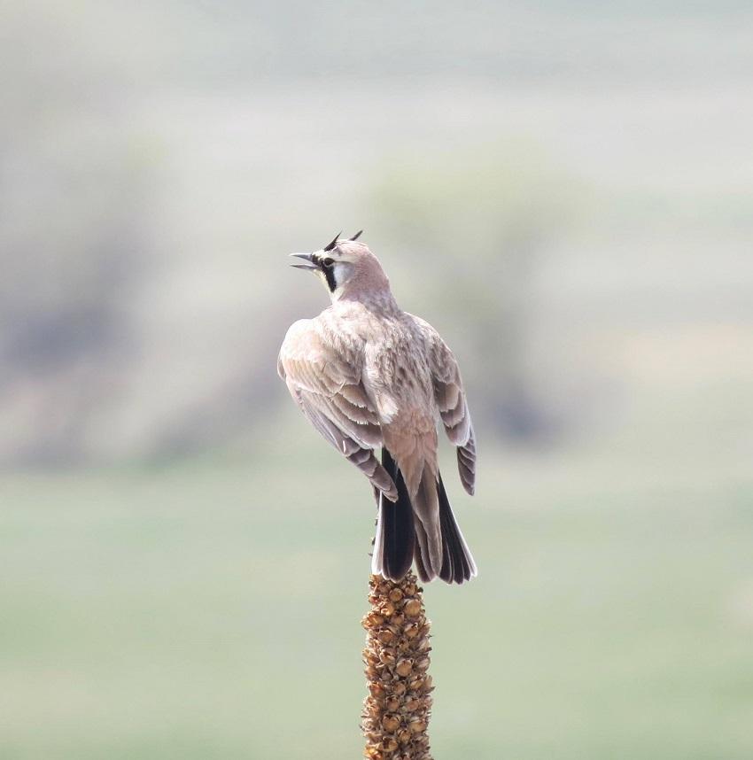 A modern horned lark
