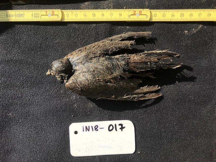 A 46,000 year old horned lark, preserved in permafrost