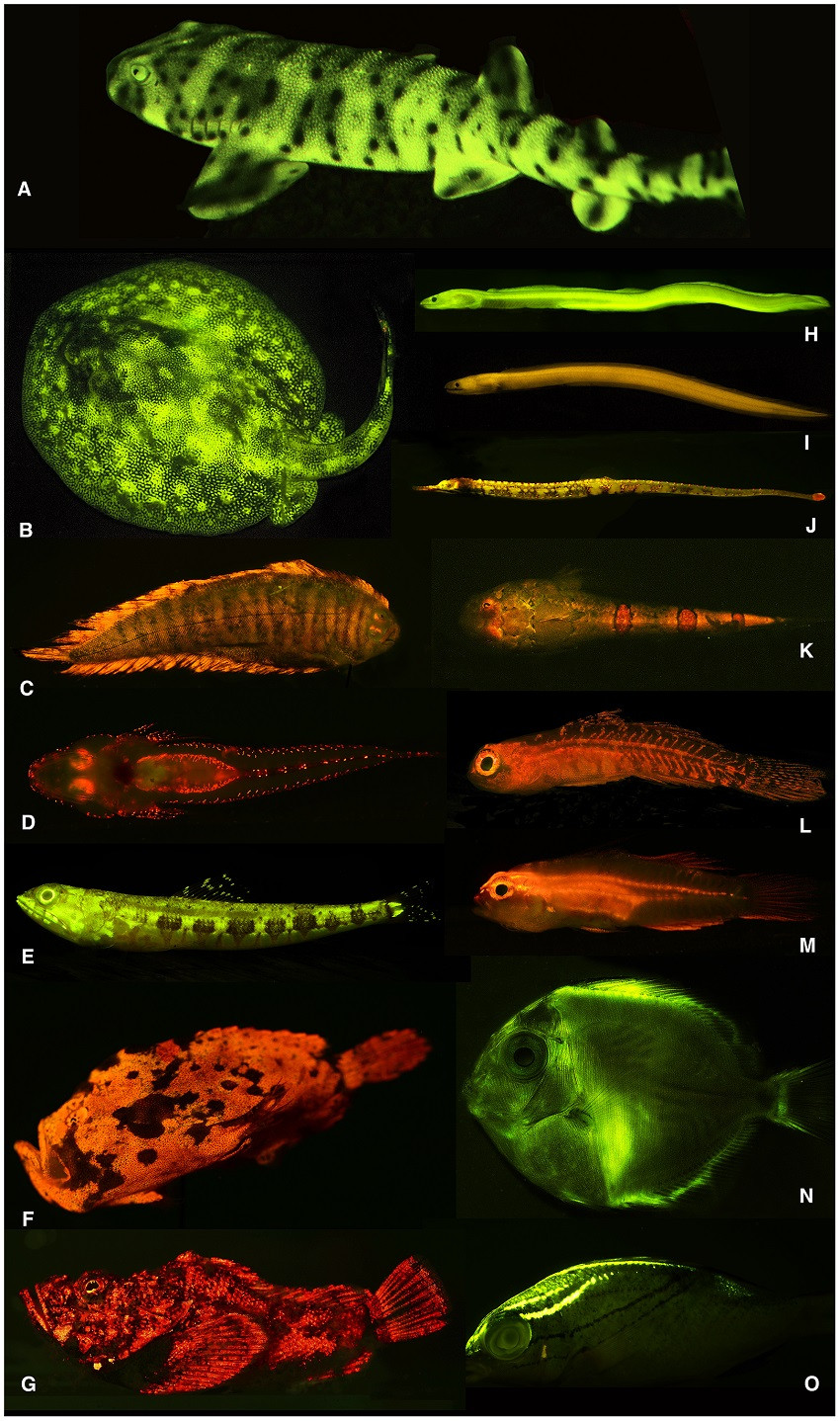 A variety of fish that show biofluorescence
