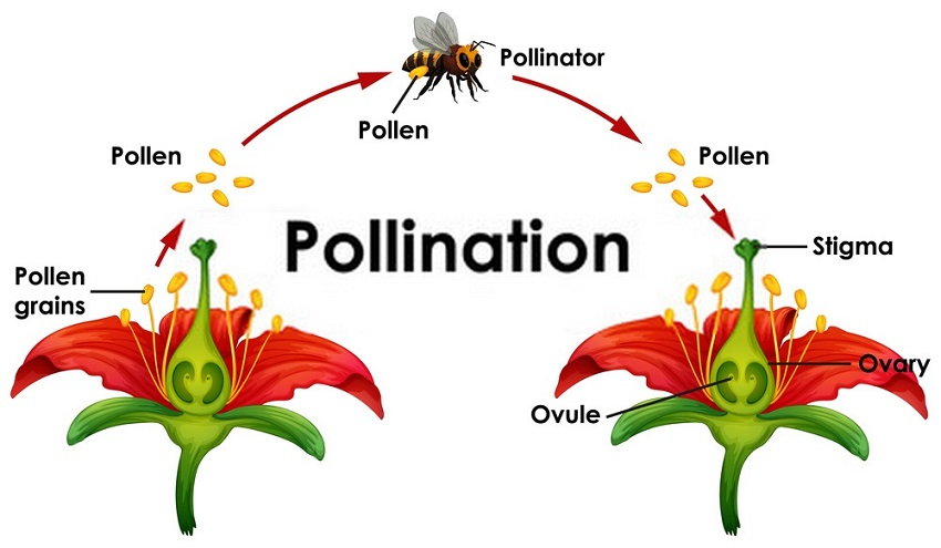 The process of pollination transfers pollen between flowers.