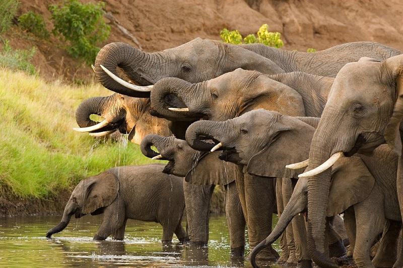 A herd of African elephants drinking at a waterhole.