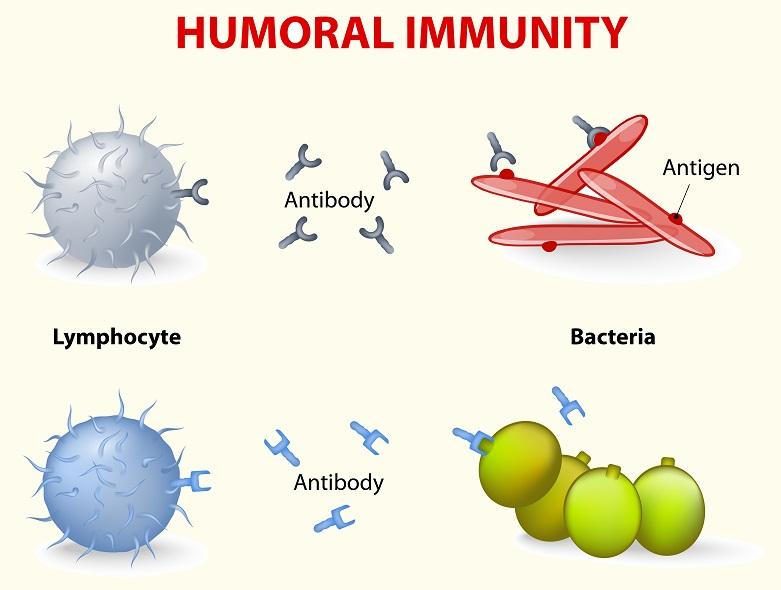 Adaptive or humoral immunity