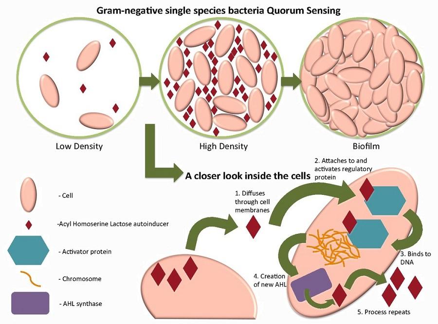 Biofilm development and quorum sensing