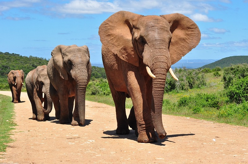 The matriarch of a herd can remember water and food sources for decades, leading the herd to these sources.