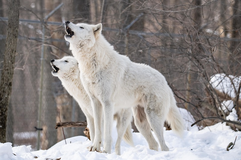 Two arctic wolves stand together and howl, a call to their pack and a warning to other packs.