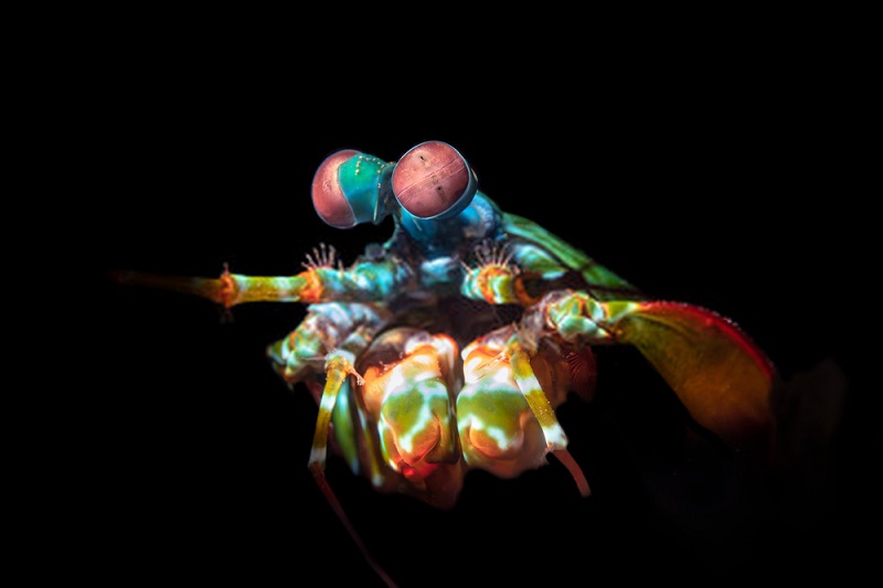 A mantis shrimp's eyes can pick up many different colors than our eyes, allowing them to differentiate between predator and prey underwater.