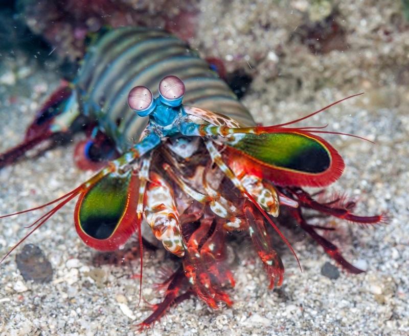 Mantis shrimp have bright colors to attract mates and warn potential predators.